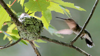 Ruby-throated Hummingbird ... Where've you been, Mom!  I'm hungry!