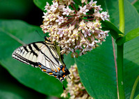 Butterfly #1: Appalachian Tiger Swallowtail (Papilio appalachiensis)?