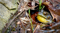 Green Frog Croaking