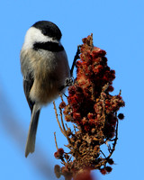 Blac-capped Chickadee