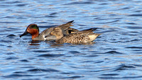 American Green-winged Teal (Anas crecca)