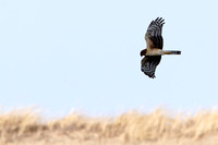 Northern Harrier Huntin