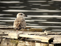 Immature Great Black-backed Gull