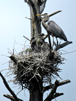 Great Blue Heron Feeding Its Young