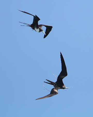Magnificent Frigate Bird, male & female with nesting material
