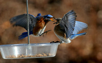 Battling Eastern Bluebird (Sialia sialis)