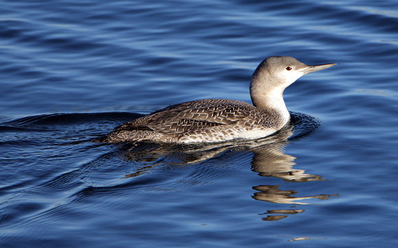 Red-throated Loon, Winter Plumage