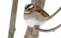 White-throated Sparrow (Angry Bird Pose)