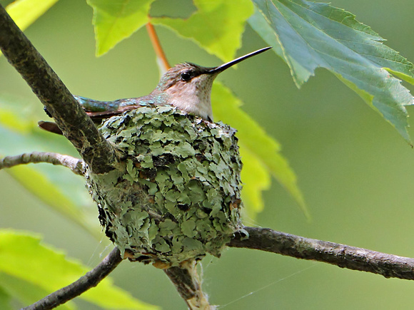 Ruby-Throated Hummingbird (Archilochus colubris), female, at its nest, tending young