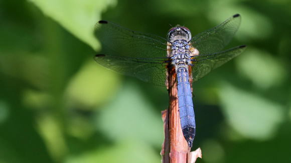 Blue Dasher Dragonfly (Pachydiplax longipennis), male