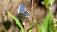 Eastern Tailed-Blue (Everes comyntas) Underwing