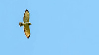 Broad-winged Hawk (Buteo platypterus), light adult