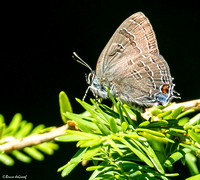 Banded Hairstreak (Satyrium calanus) with some Hickory Hairstreak (Satyrium caryaevorum)  markings