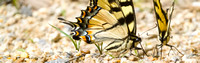 Canadian Tiger Swallowtails (Papilio canadensis), puddling