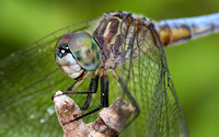 Blue Dasher (Pachydiplax longipennis) Dragonfly, male