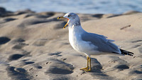 Ring-billed Gull (Larus delawarensis), basic plumage