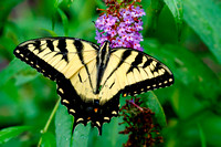 Eastern Tiger Swallowtail (Papilio glaucus), male