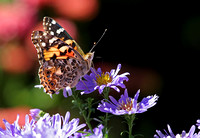 Painted Lady (Vanessa cardui) on Aster