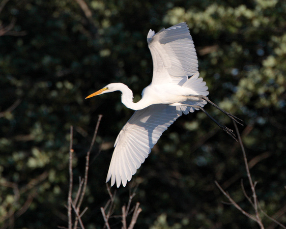 Great Egret flying in to roost