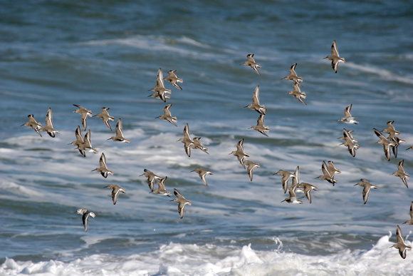 Flurry of Dunlin with one Sanderling