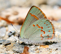 Early Hairstreak (Erora laeta), backlit, spotted by Greg and Bruce