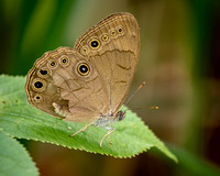 Appalachian Brown (Satyrodes appalachia) Butterfly