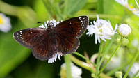 Common Sootywing (Pholisora catullus)